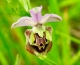 Bee Orchids and a very rare Orchid , Orchis Militaris