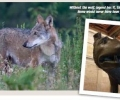 Article with Adam about Italian wolf